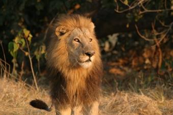 lion,Botswana